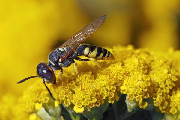 Das ist eine Wespe - Unterschied erkennen