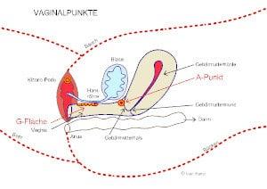 Weibliche Anatomie - Querschnitt